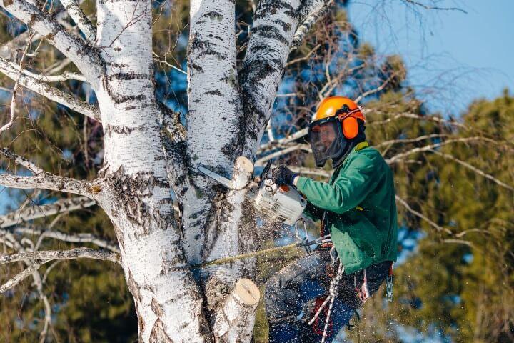 cutting big tree sacramento